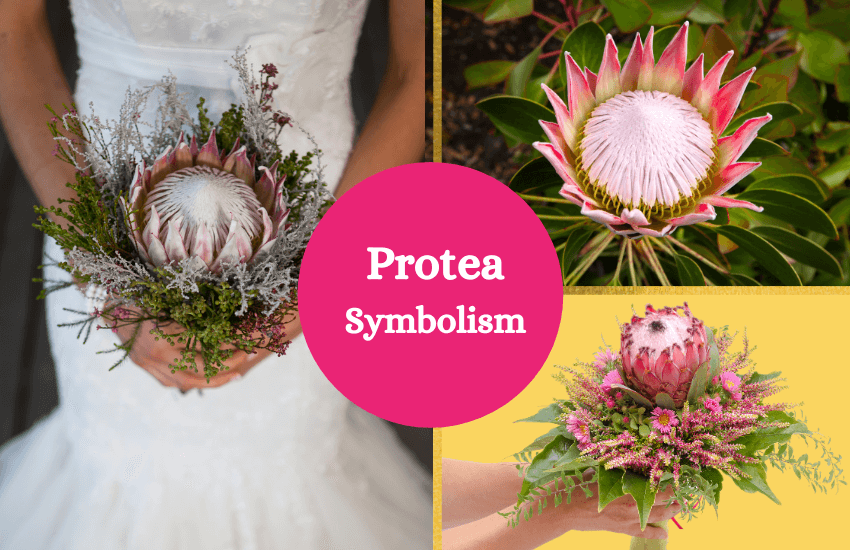 Protea meaning and symbolism
