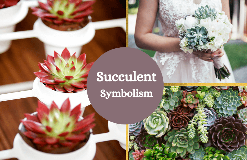 Succulent meaning