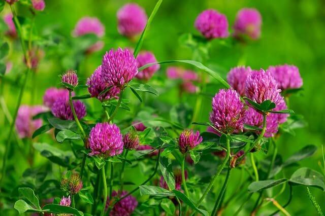 Vermont red clover