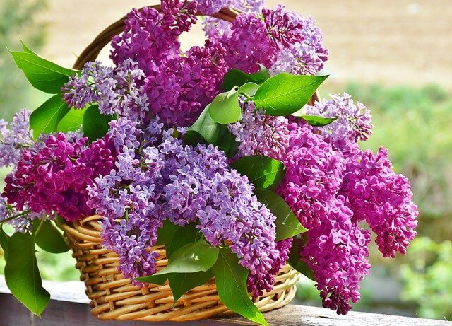 what is lilac flower