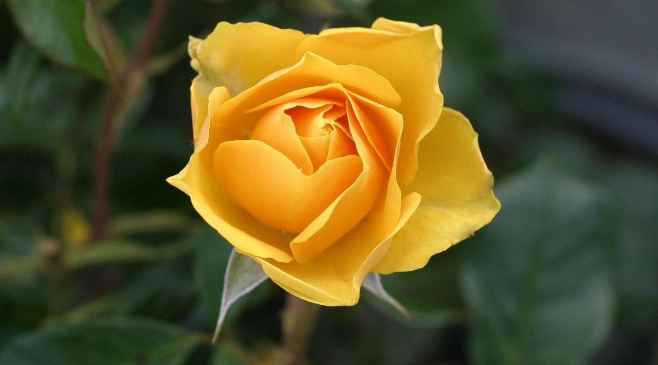 Yellow rose flower say thank you