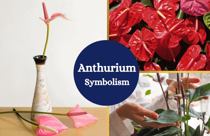 Anthurium flower symbolism