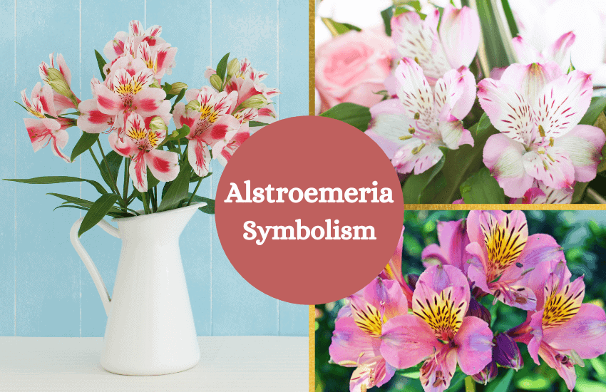 Alstroemeria flower symbolism