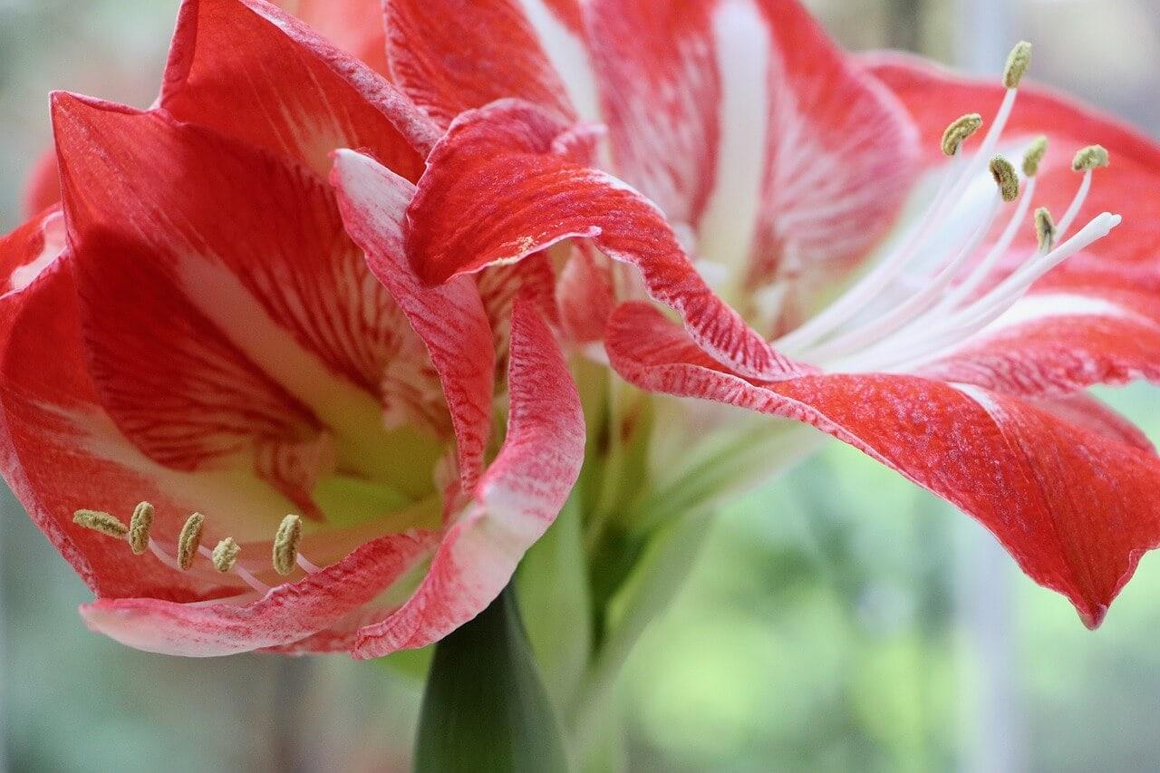 Amaryllis flower meaning