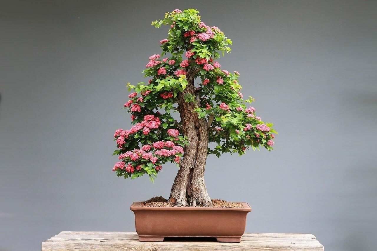 Bonsai as gift