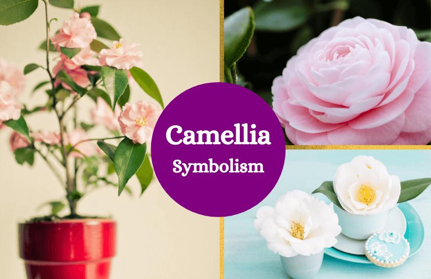 Camellia flower symbolism