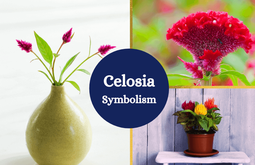 Celosia flower meaning symbolism