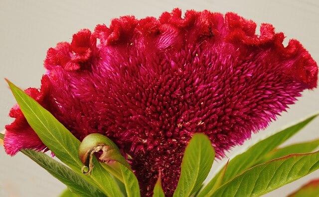 Cockscomb celosia flowers