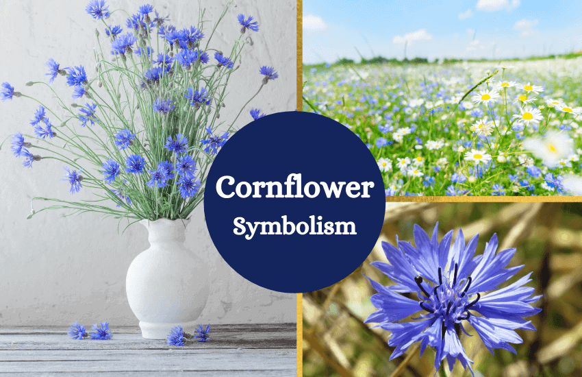 Cornflower symbolism