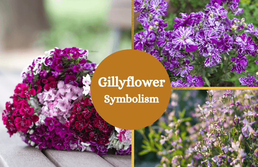 Gillyflower meaning