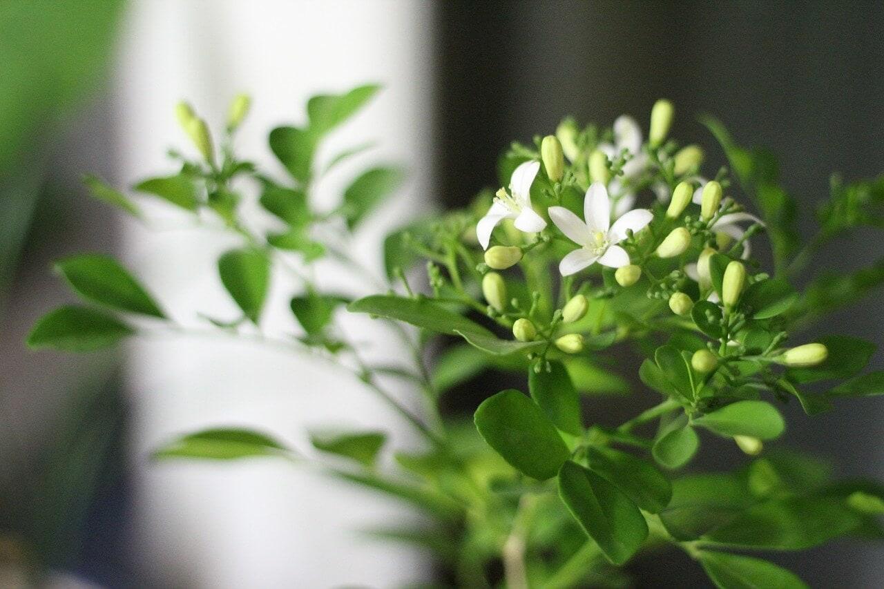 Jasmine as housewarming gift