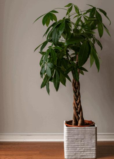 Money tree as gift