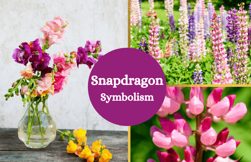 Snapdragon flower symbolism and meaning