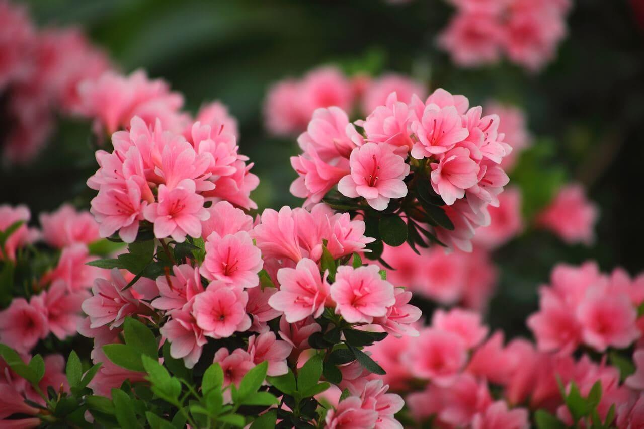 What is azalea