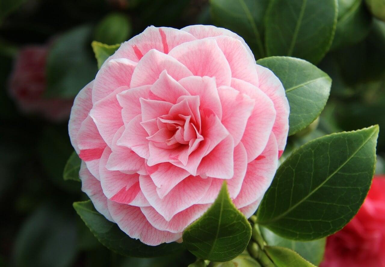 Pink camellia flower close up