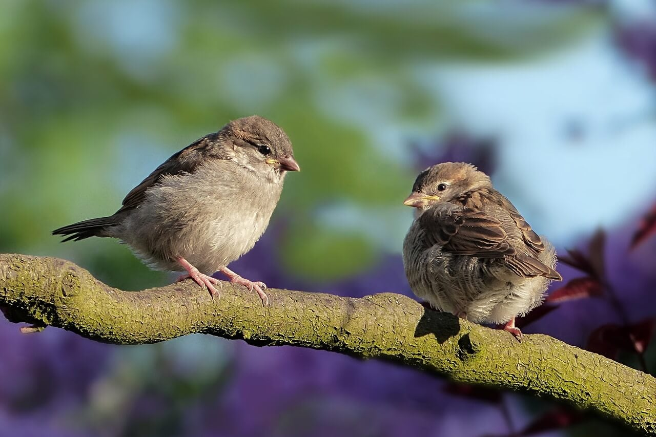 Sparrow in different cultures