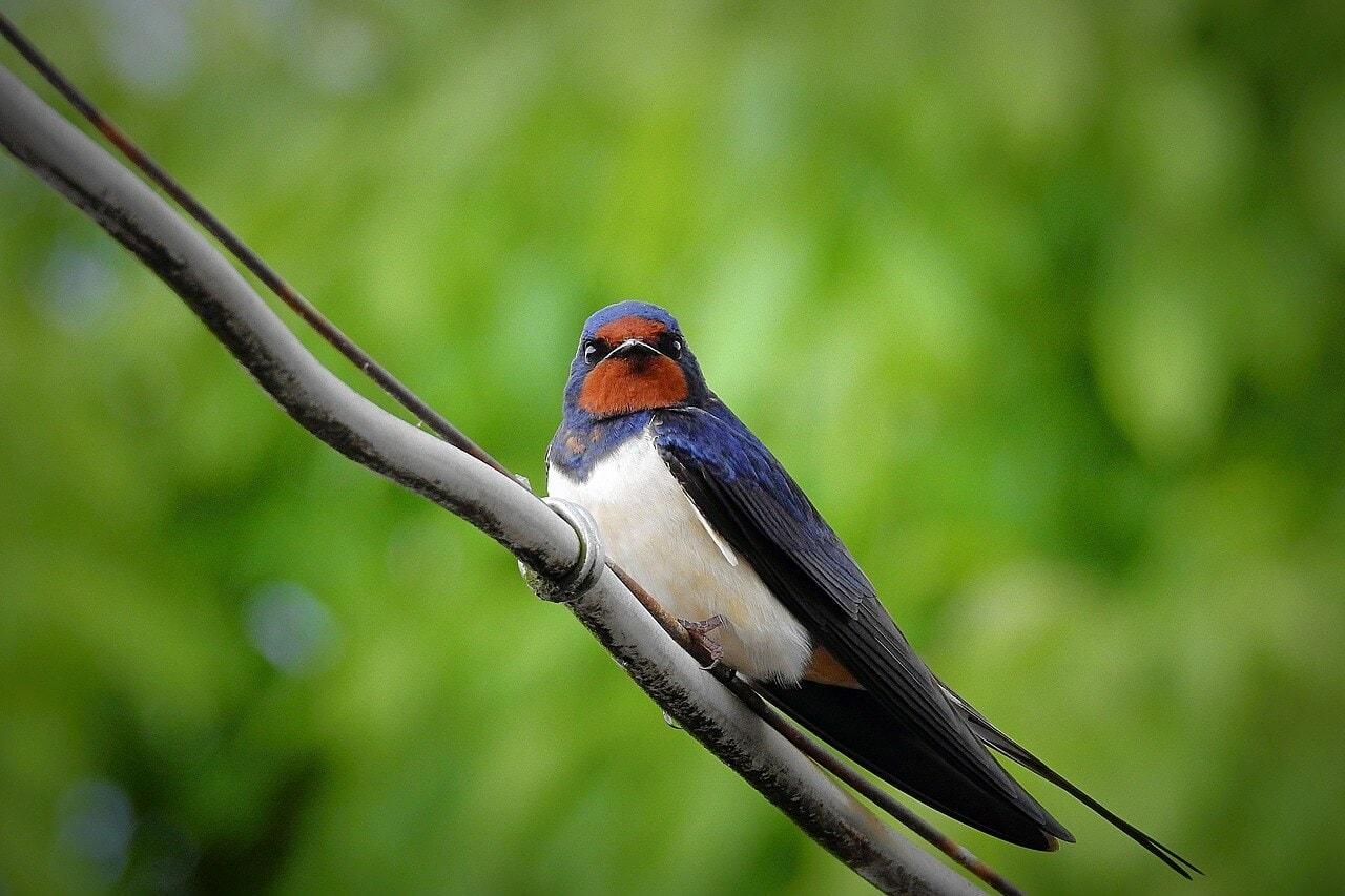 Swallows vs sparrows