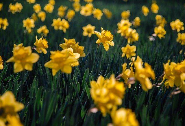 Daffodils new beginnings