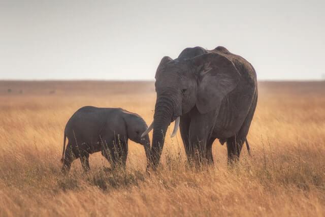 Elephant symbolism loyalty