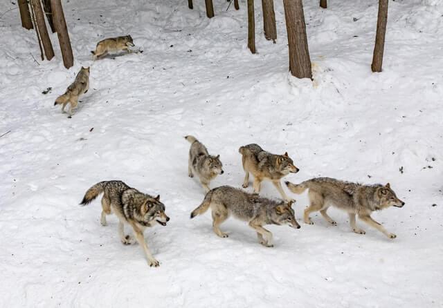 Wolf symbolism loyalty