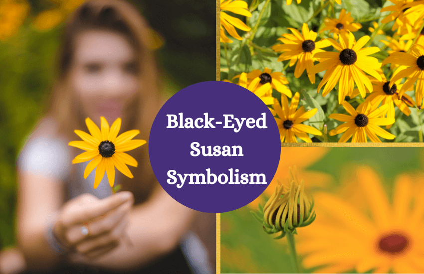 Black eyed susan symbolism and meaning
