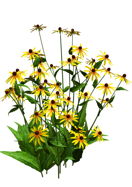 Black eyed susan when to give