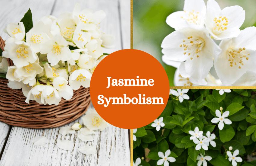 Jasmine flower meaning and symbolism