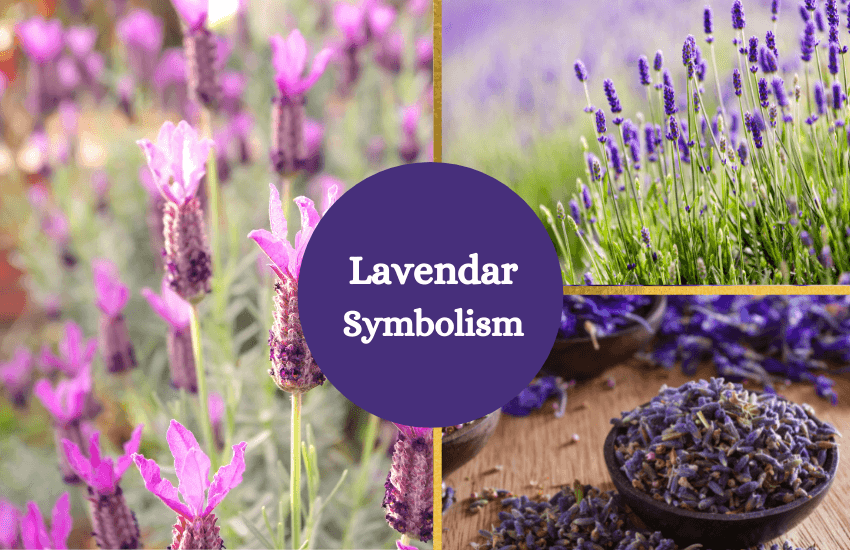 Lavender symbolism and meaning