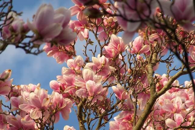 Magnolia color meaning
