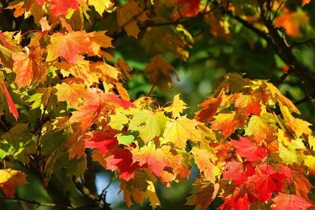 Maple tree Canada