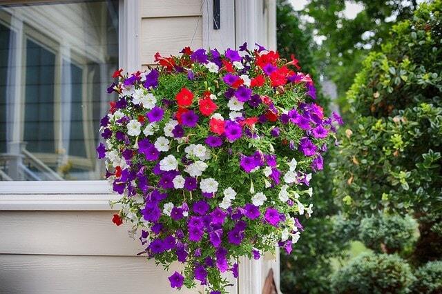 petunia color symbolism