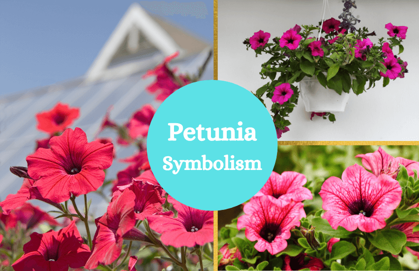 Petunia symbolism and meaning