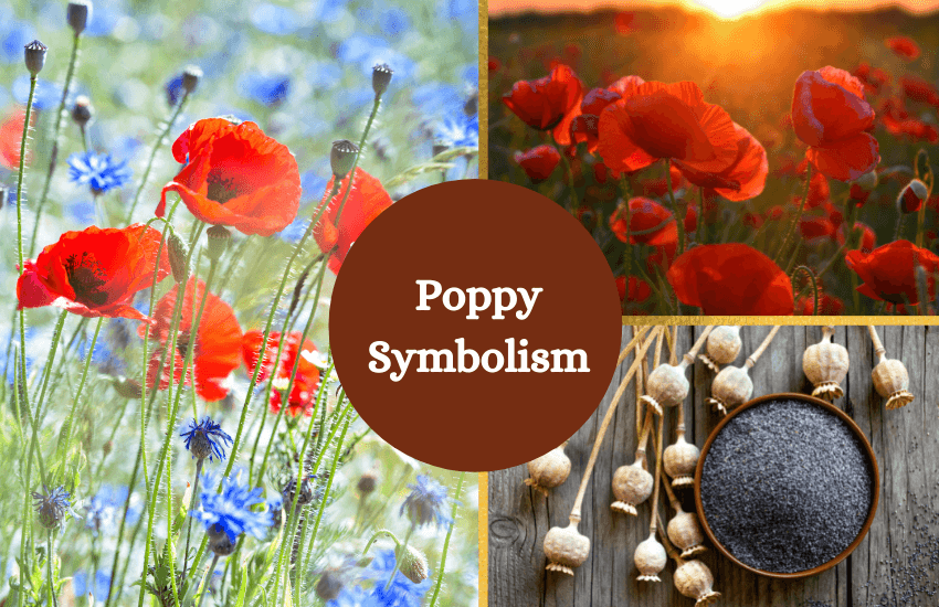 Poppy symbolism and meaning