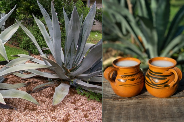agave with pulque drink