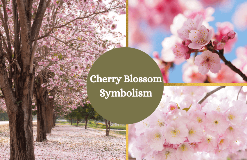 Cherry blossom meaning symbolism