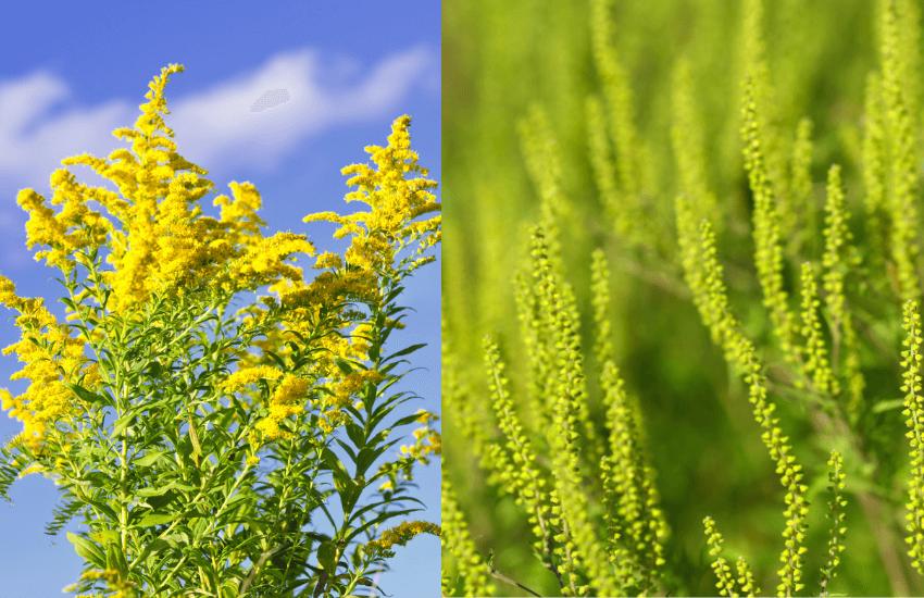 Goldenrod and ragweed