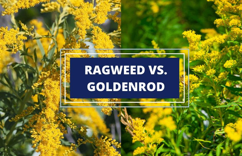 Goldenrod vs ragweed