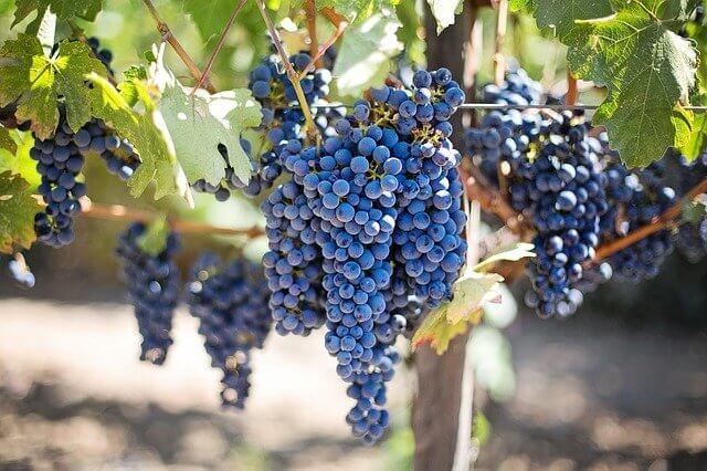 History of grapes