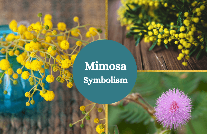Mimosa symbolism meaning