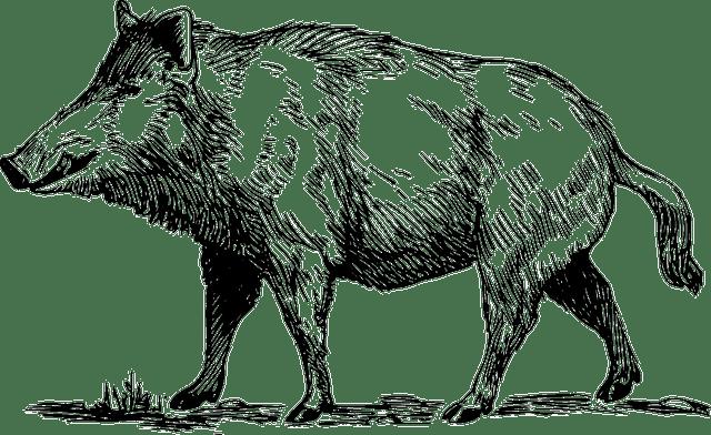 Celtic boar