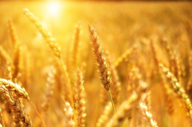 Lammas grain