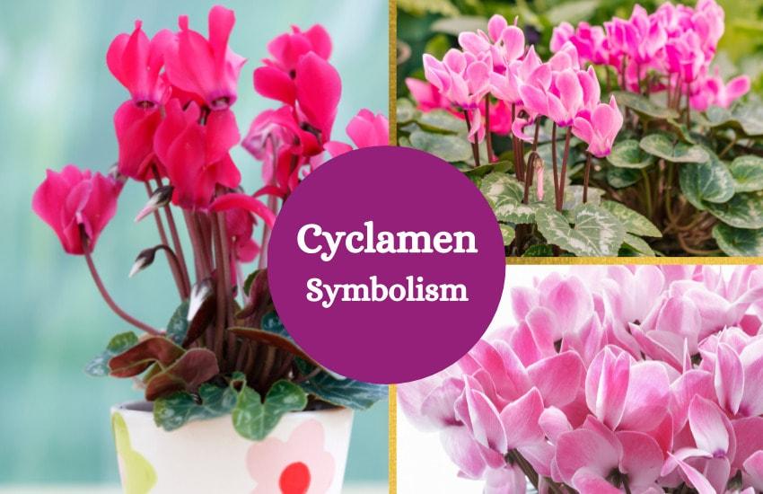 Cyclamen meaning symbolism