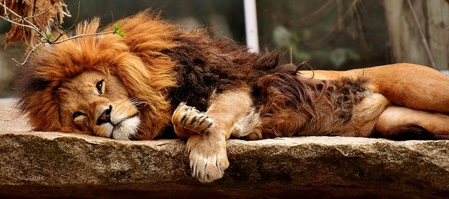 Lions in dreams