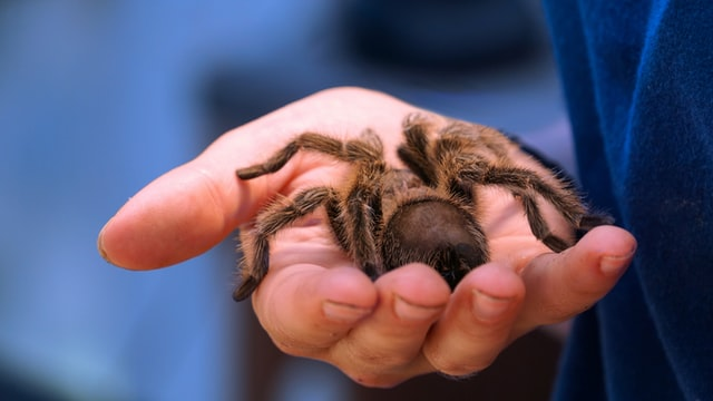 Big tarantula in hand