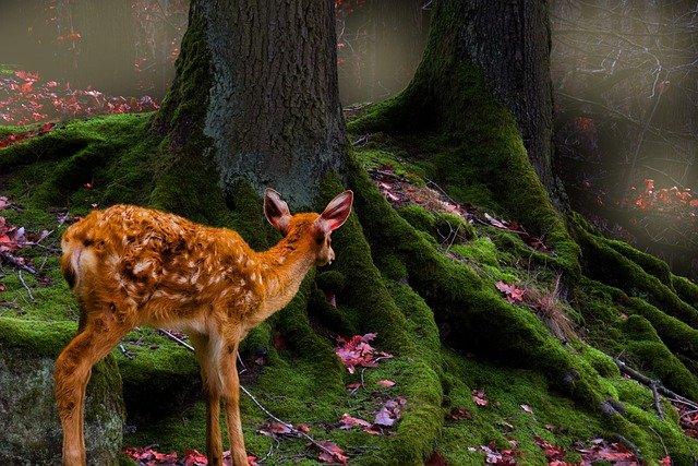 deer dreams